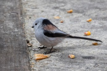 All Long-tailed Tits are gorgeous, but the caudatus subspecies is a totally cute fluffy snowball.