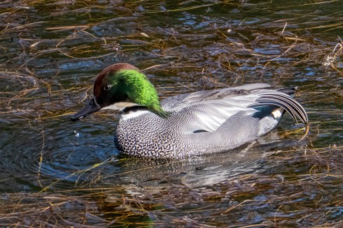 Falcated Duck in the moat of the imperial palace