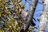 Bohemian Waxwing, much more cooperative than the Japanese Waxwings