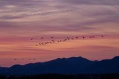 Hooded Cranes at dawn