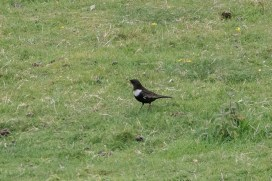 The Ring Ouzels keep coming: we've had at least 10 and probably 13 different birds this month