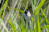 Reed Bunting singing by the Arun