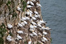 Many Gannets, with chicks