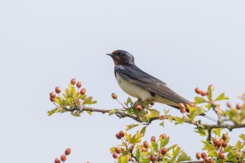 A Swallow is part of a pre-departure gathering