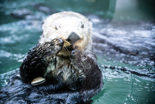 Sea Otters at the Seattle Aquarium. Photo by Mike Higdon