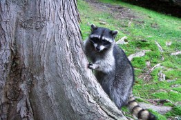 Female Raccoon