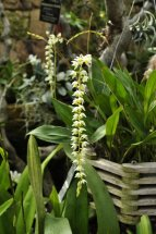 Hay-Scented Chain orchid from the Philippines (Dendrochilum glumaceum).