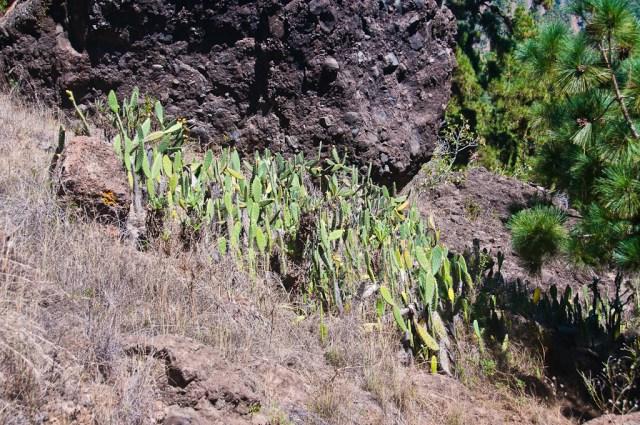 Przydrożna kępka kaktusów