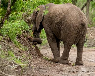 **Elephant.CNV_2014