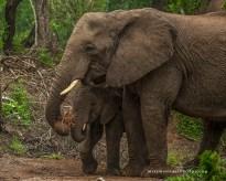 **Elephants.CNV_2068