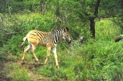 **ZebraBaby.CNV_1871