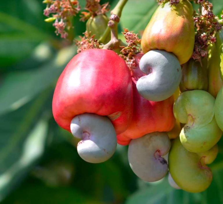 cashew nut fruit