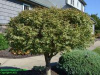 Japanese Maple Tree Nursery Source For Japanese Maple ...