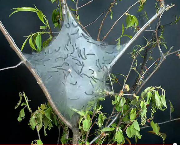 Tent Caterpillar Control