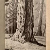 Nature Drawing - Coastal Redwood