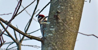 ladder-backed-woodpecker-sarobia-02s