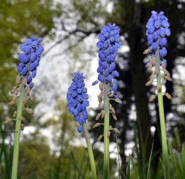 Sarobia-bluebells-s