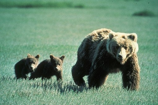 Bears, Grizzly, Mother, Cubs, Young