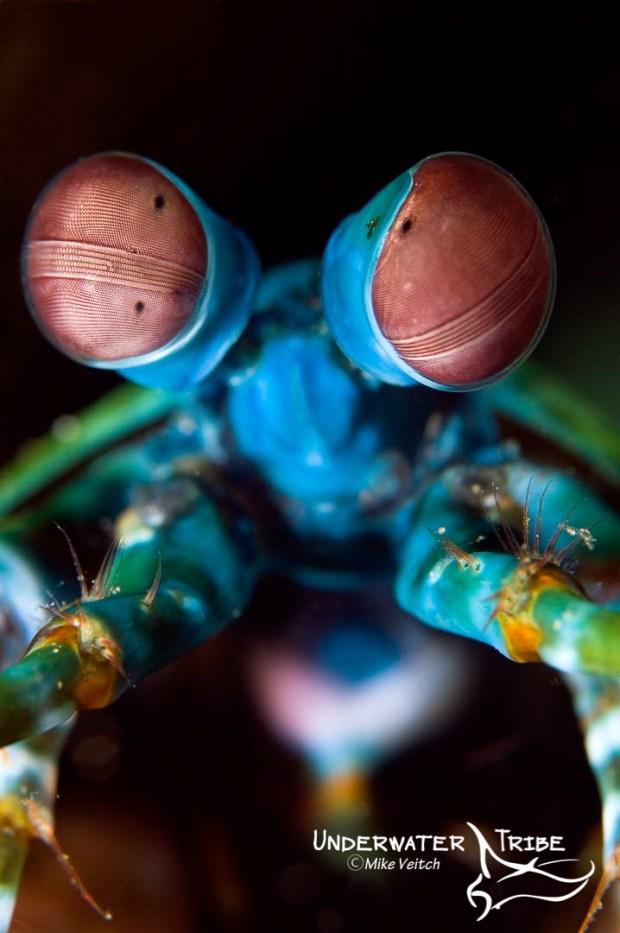 Peacock Mantis Shrimp Philippines