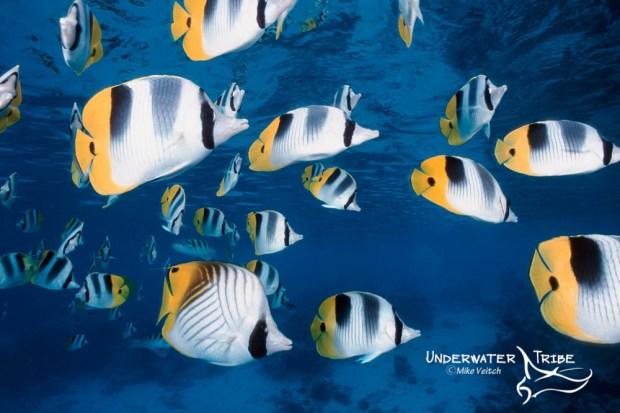 Schooling Butterflyfish