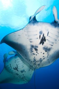 Two Mantas Mike Veitch Underwater Photography