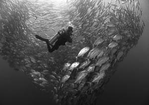 Diver and Schooling Horse Eye Jacks