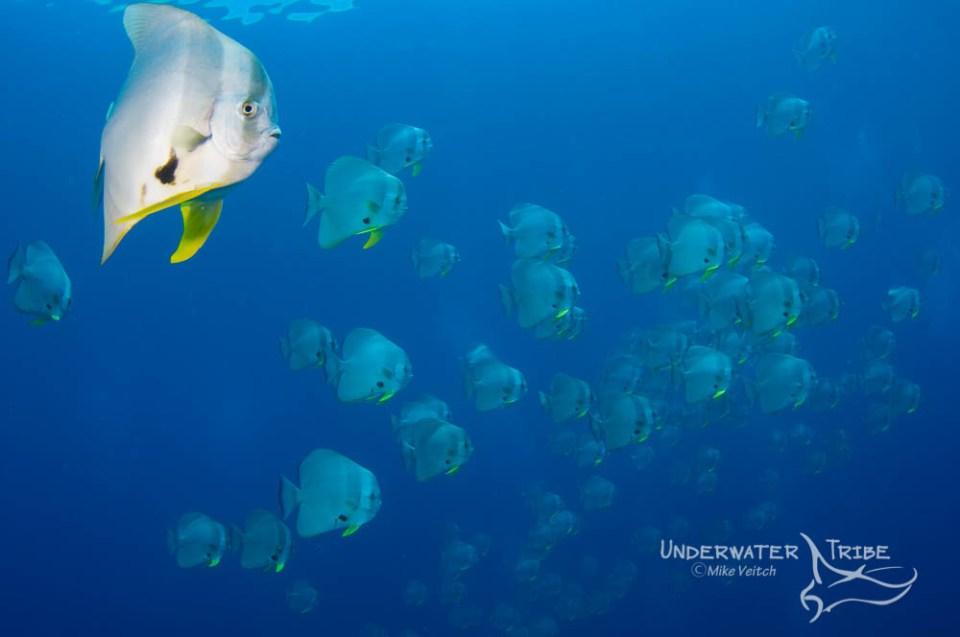 Schooling batfish in Raja Ampat