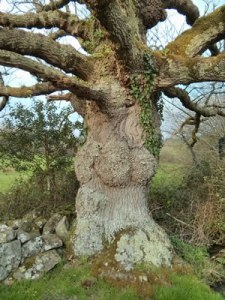 My favourite oak tree