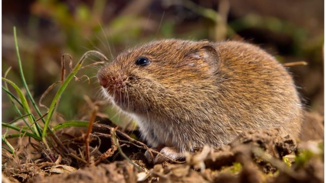 Stone Age people may have roasted rodents