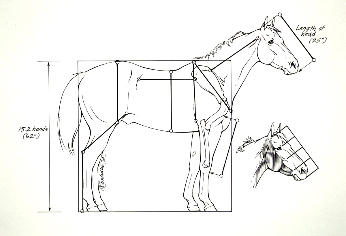 Human muscular system, Horse anatomy and Muscular system