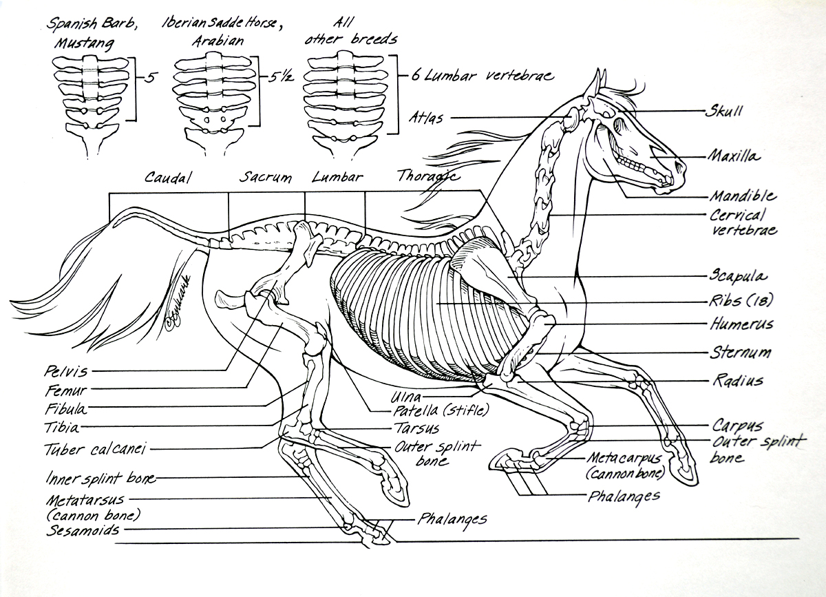 11 Best Horse Anatomy Images
