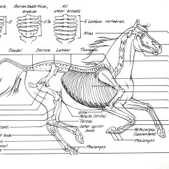 Horse Skull Diagram Model T Ford Wiring Anatomy I Mikki Senkarik