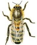 Včela dělnice