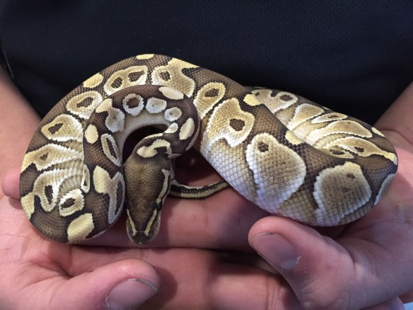 platinum ball python