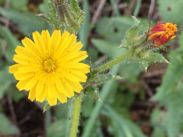 A flower as ordinary as a dandelion can be spectacular if you have eyes to see.