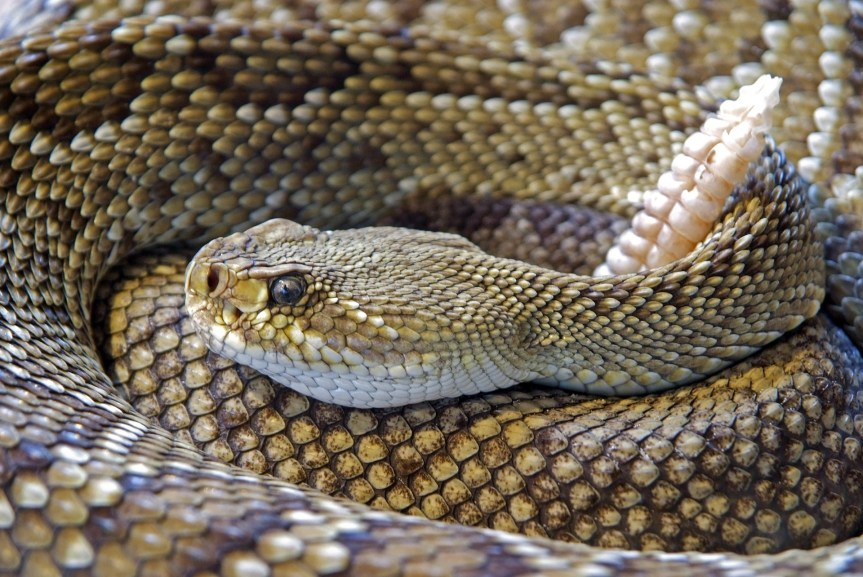 As the Rattle Shakes: All's Well that Ends with the Rattler Relocated