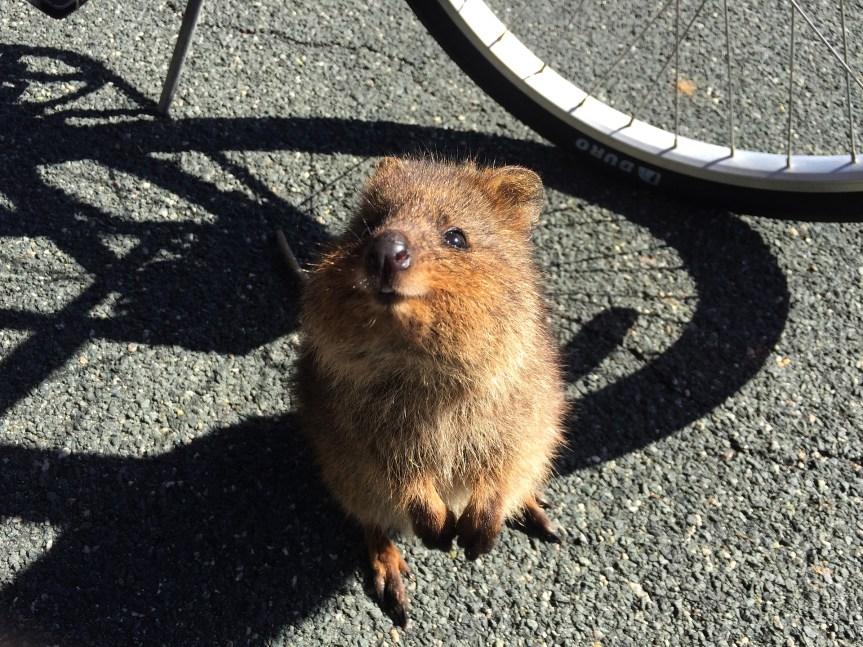 Happiness as an Animal? Meet the Quokka