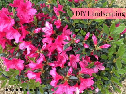 blooming azalea bush