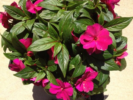 potted hot pink flowers
