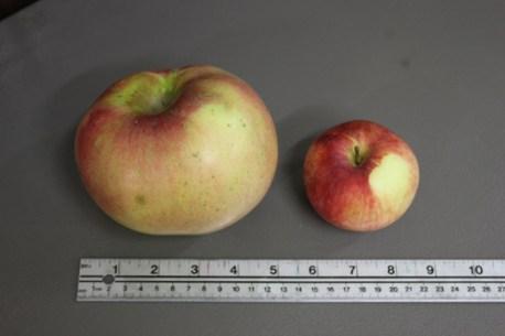 Big apples 2