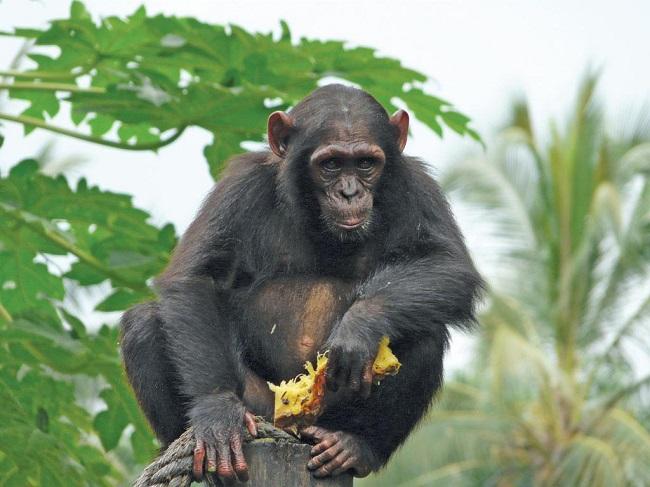 ENTP – The Chimpanzee