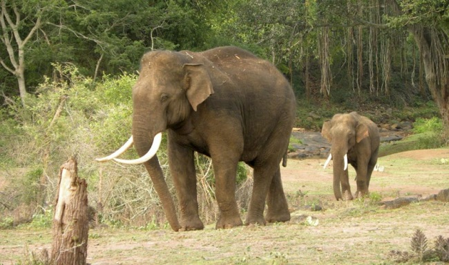 INFP – The Asian Elephant
