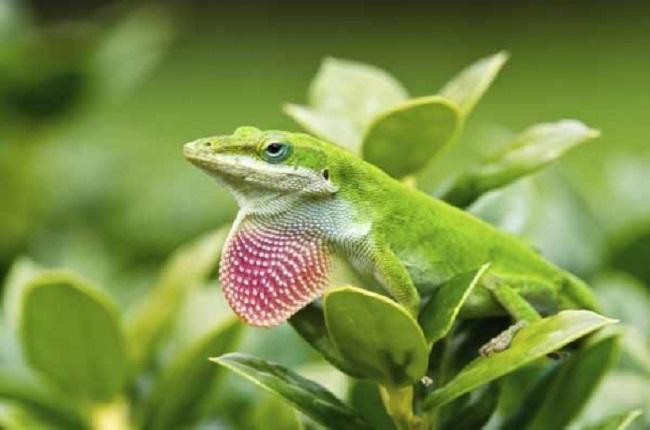 INTP – The Green Anole Lizard