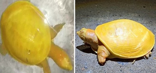Very Rare Yellow Turtle Was Rescued And Saved In India