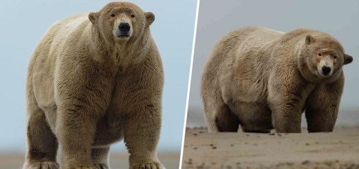 Meet the Chubbiest Overweight Polar Bear Nicknamed Fat Albert by Locals in Alaska