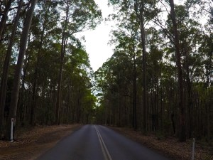 Lovely straight trees, NSW South Coast