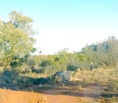 Poor Mr Cow Barrier Hwy, NSW Outback Australia