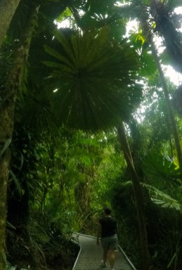 Giant Fan Palm