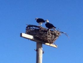 Sea Hawk nest