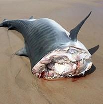 Dead shark